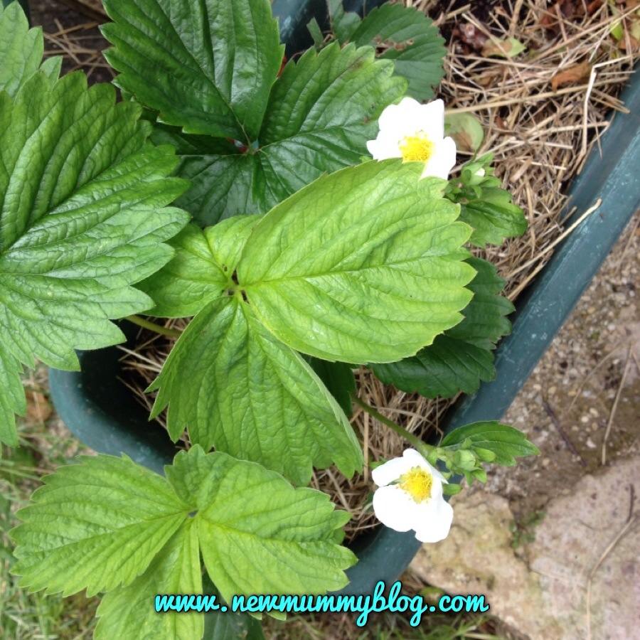 strawberry plants in the garden flowering