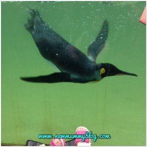 A day out review at Birdland - a penguin swimming at Birdland, Bourton On The Water, Gloucestershire family things to do