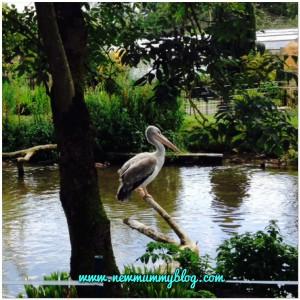 Birdland near Cheltenham pelican