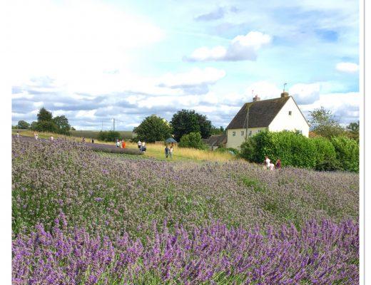 Cotswold lavender Broadway Cheltenham