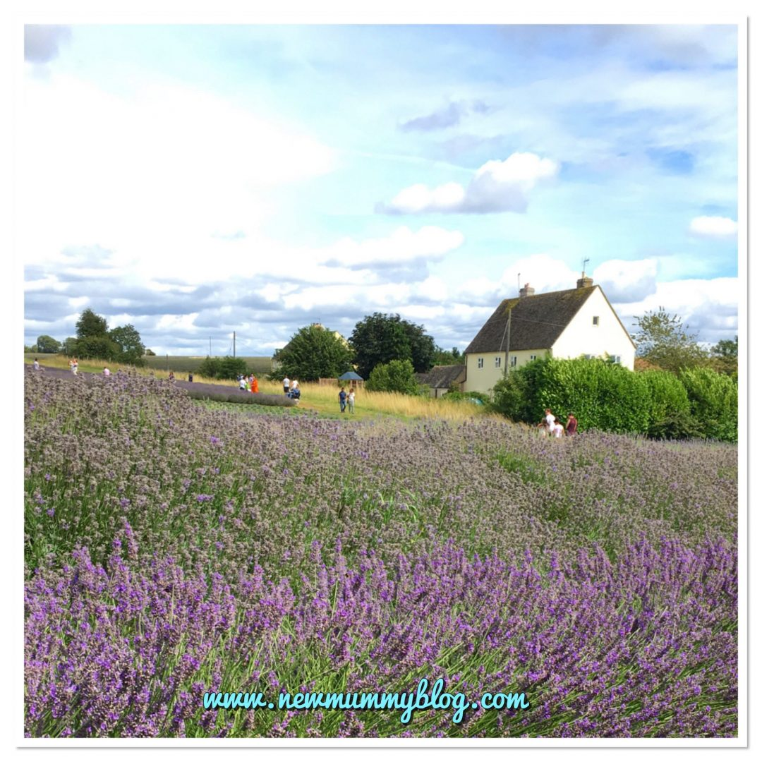Visit Cotswold Lavender fields, Worcestershire reviews family days out