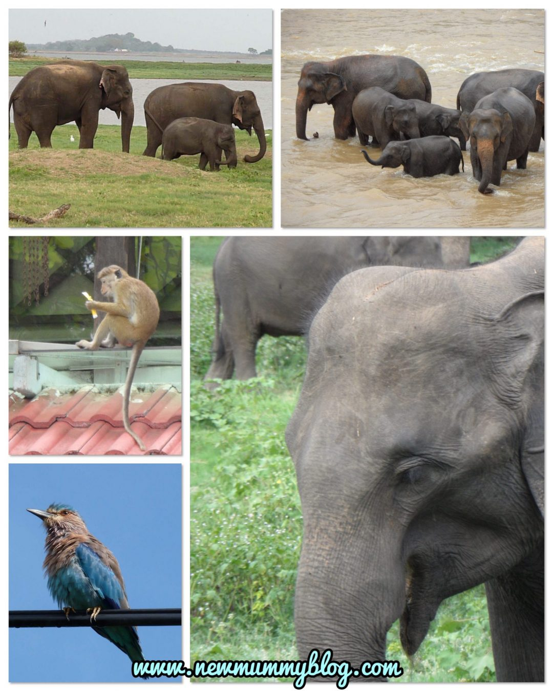 Sri Lanka honeymoon once in a lifetime experience with a second week in the Maldives - pinnawala elephant, monkeys, Asian elephants, Sri Lankan wildlife on a private tour on honeymoon