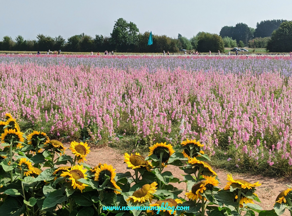 Sunflowers and delphiniums on a day out at the Confetti Flower Field, Wick, Pershore, Worcestershire near Evesham. August 2020.
