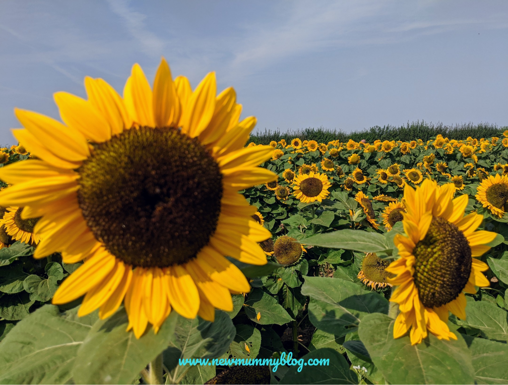 Sunflowers at the Confetti Flower Field, Wick, Pershore, Worcestershire near Evesham. August 2020 social distancing post lockdown.