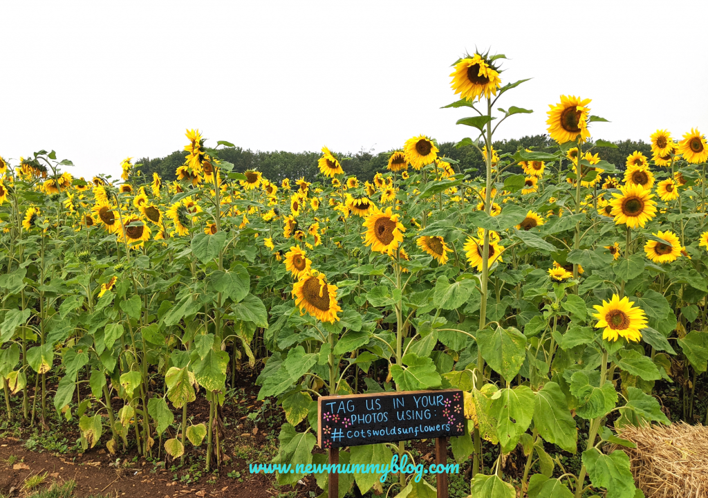 Sunflowers at Cotswold Farm Park - August 2020