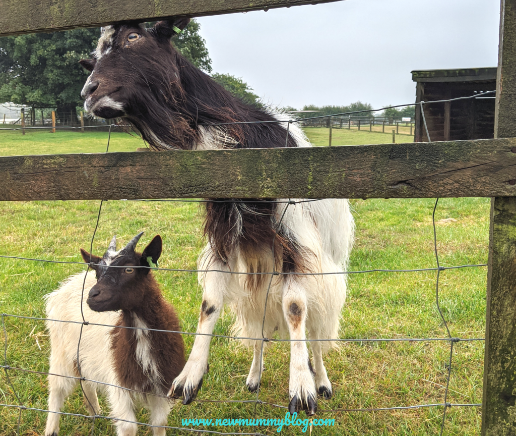 Hungry goats at Cotswold Farm Park, near Cheltenham