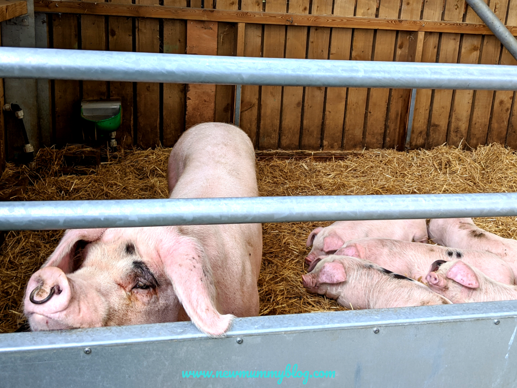 Pigs and piglets at Cotswold Farm Park